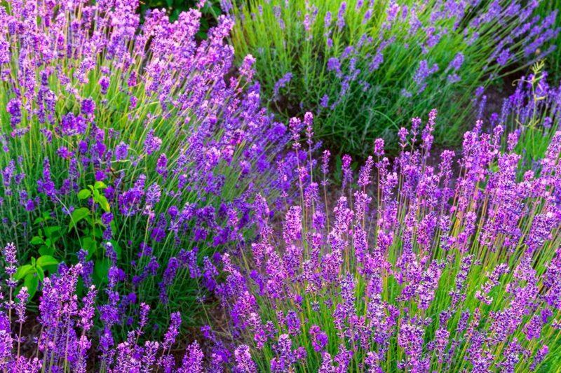 Lavendel im Garten Pflegetipps