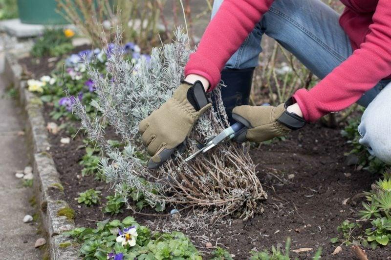 Lavendel schneiden praktische Tipps