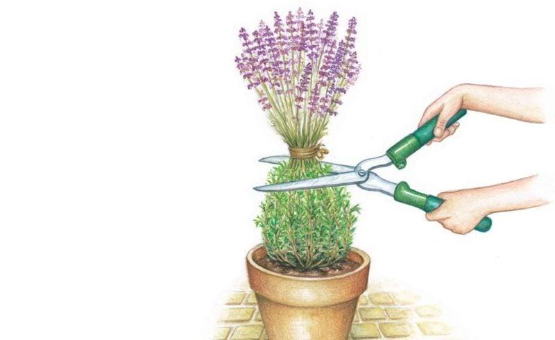 den Lavendel richtig schneiden