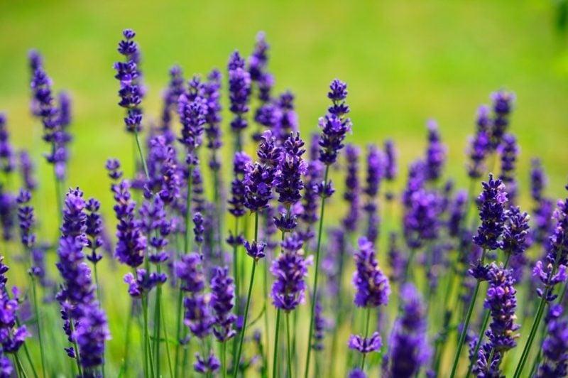 Lavendel Blühten zauberhafter Look