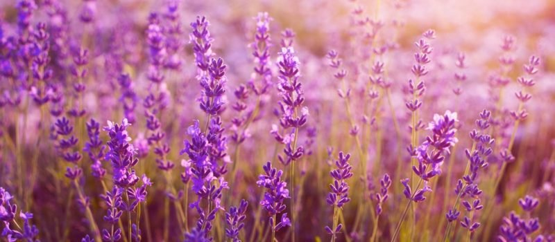 die zarten lila Blühten des Lavendels