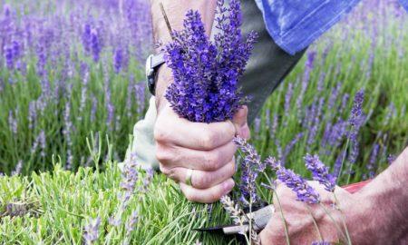Lavendel schneiden hilfreiche Tipps