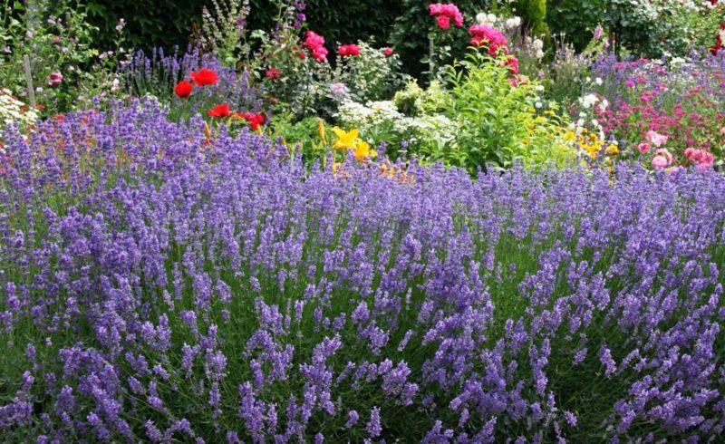 Lavendelstrauch im Garten Pflegetipps