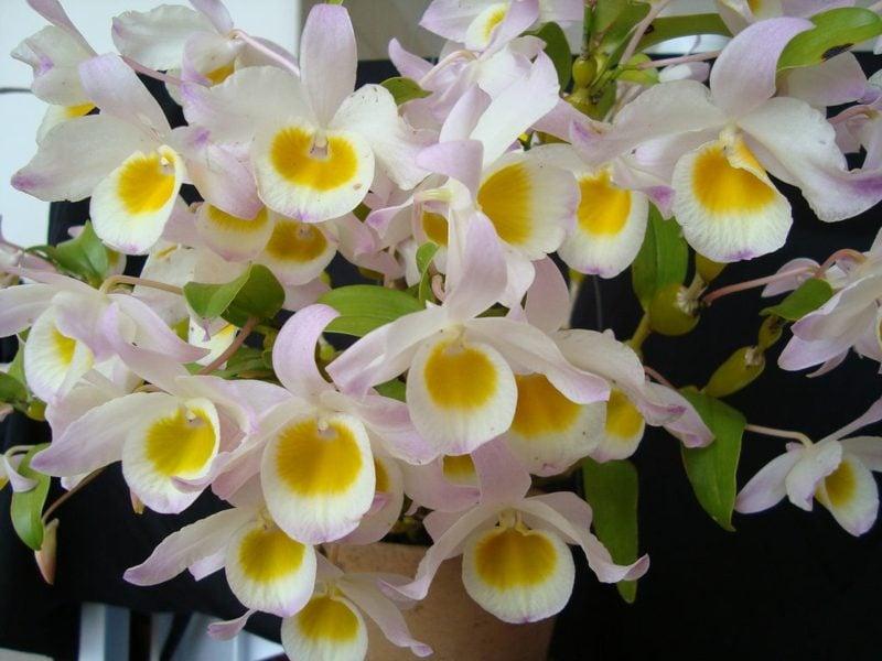 orchideenarten dendrobium findlayanum