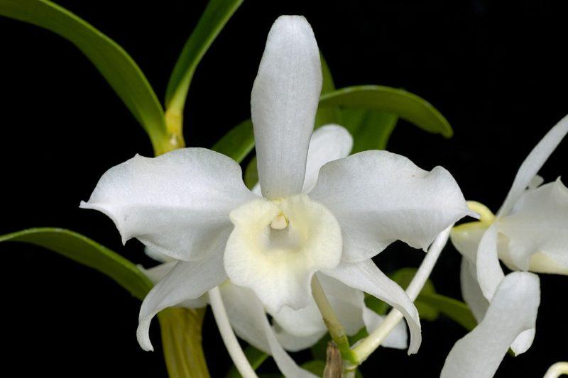 orchideenarten dendrobium weiss