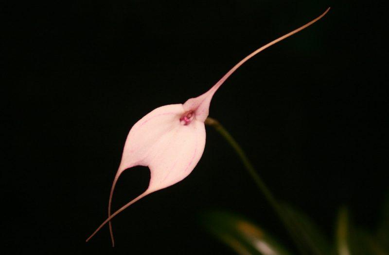 orchideenarten masdevallia measuriana