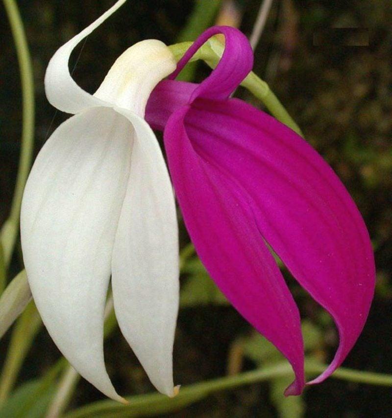 orchideenarten masdevallia
