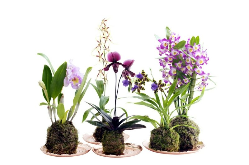 orchideenarten paphiopedilum brassia dendrobium nobile-cattleya-zygopetalum