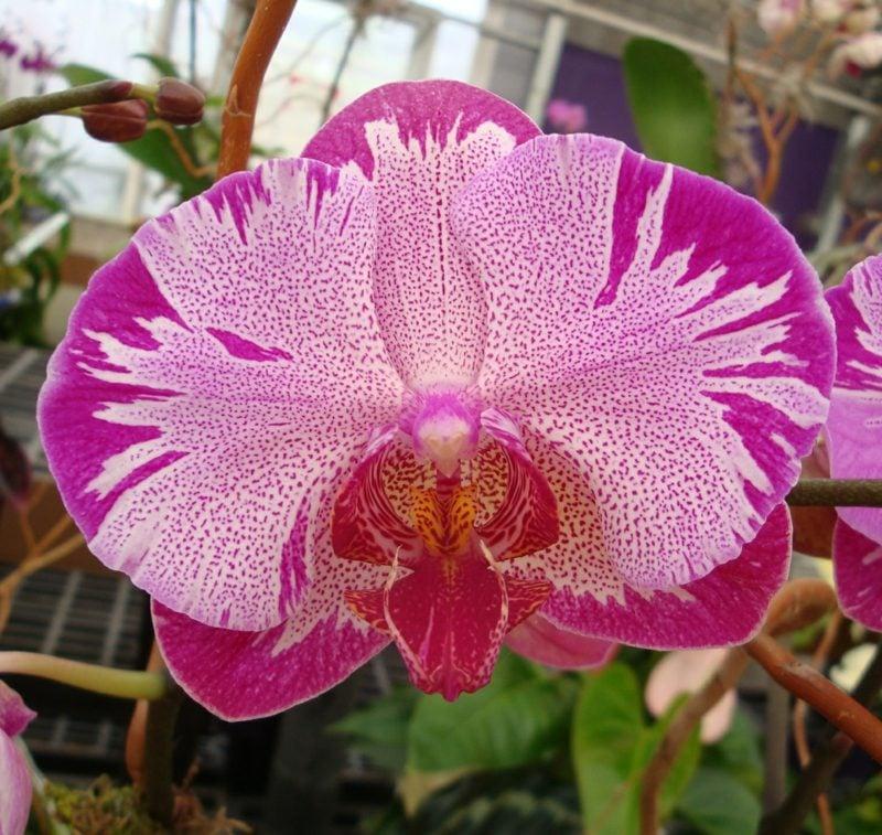 orchideenarten phalaenopsis rosa lila