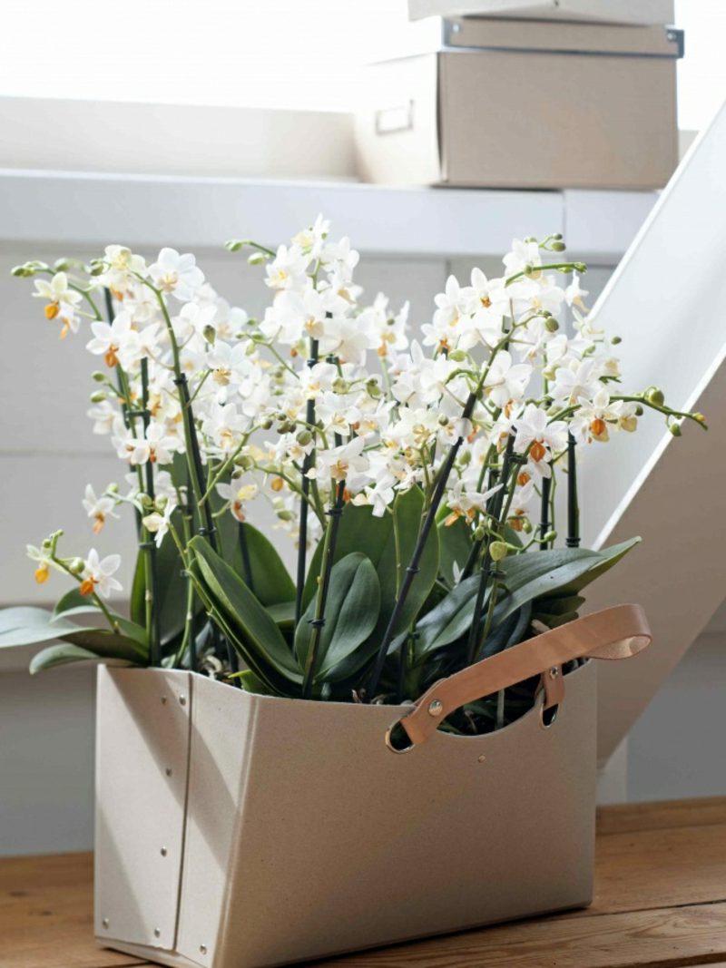 orchideenarten phalaenopsis tragetasche