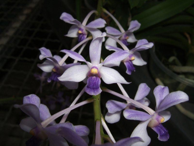 orchideenarten vanda coerulescens