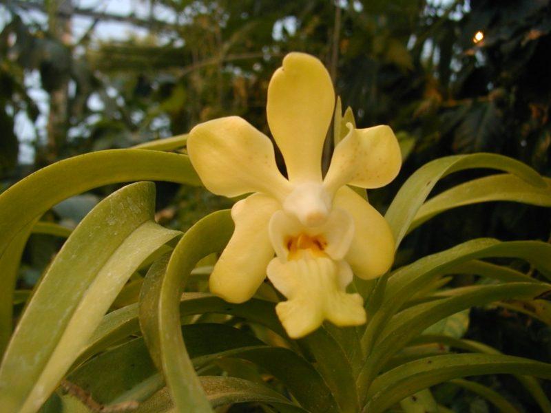 orchideenarten vanda denisoniana