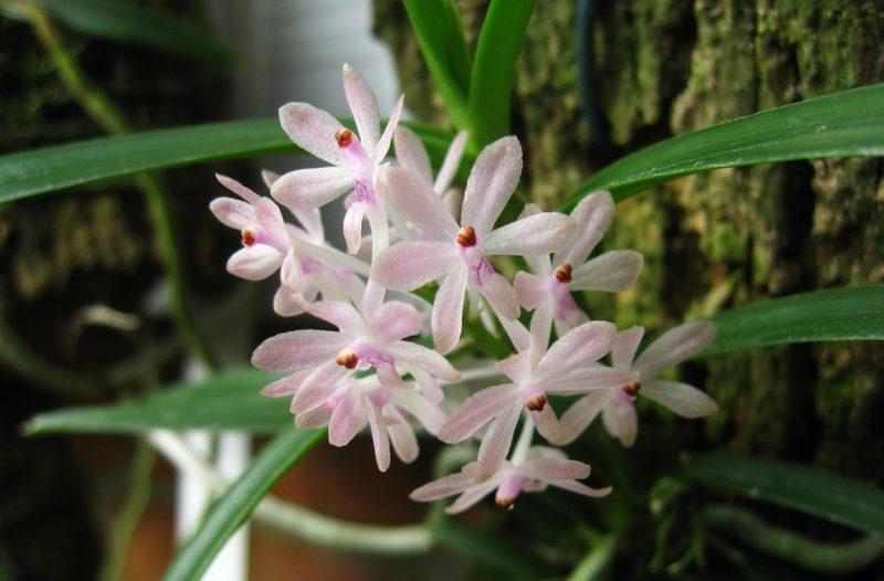 orchideenarten vandachristensonianum