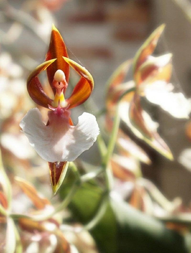 orchideenarten ballerina orchidee