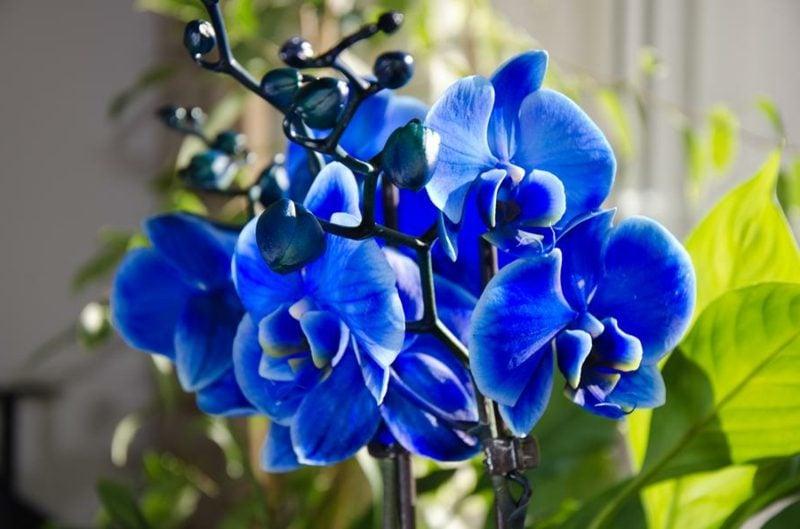 orchideenarten blaue orchideen