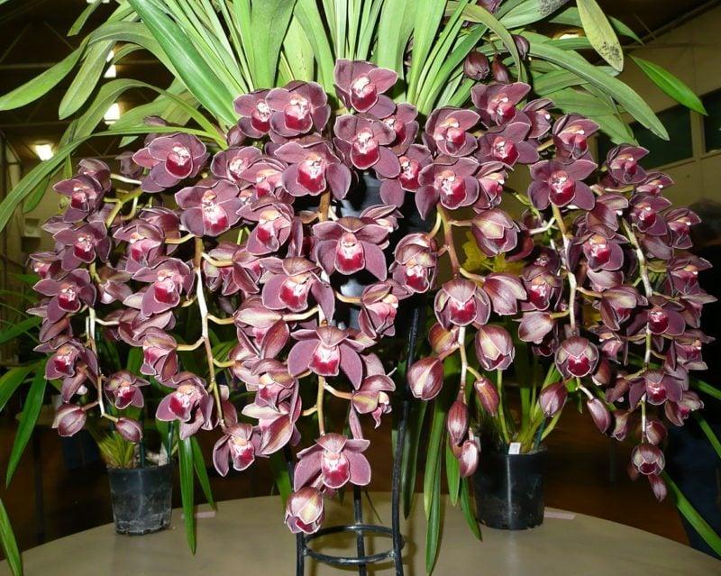 orchideenarten cymbidium lila