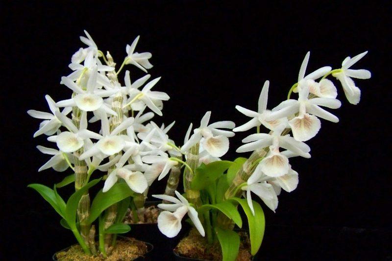 orchideenarten dendrobium primulinum