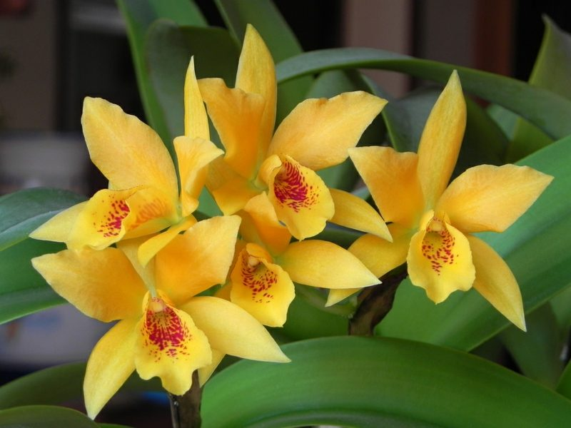 orchideenarten in gelb