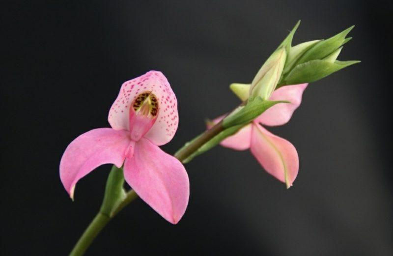 orchideenarten in rosa