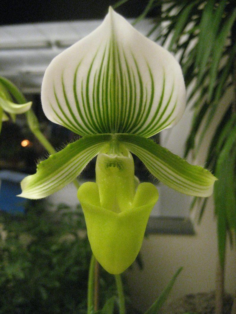 orchideenarten ladyslipper weiss
