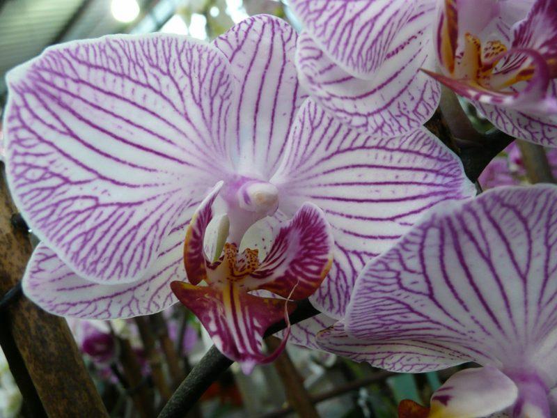 orchideenarten orchideen