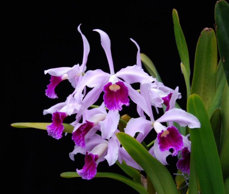 orchideenarten purpurata tipo orchidee en vente