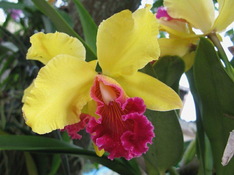orchideenarten schmetterling