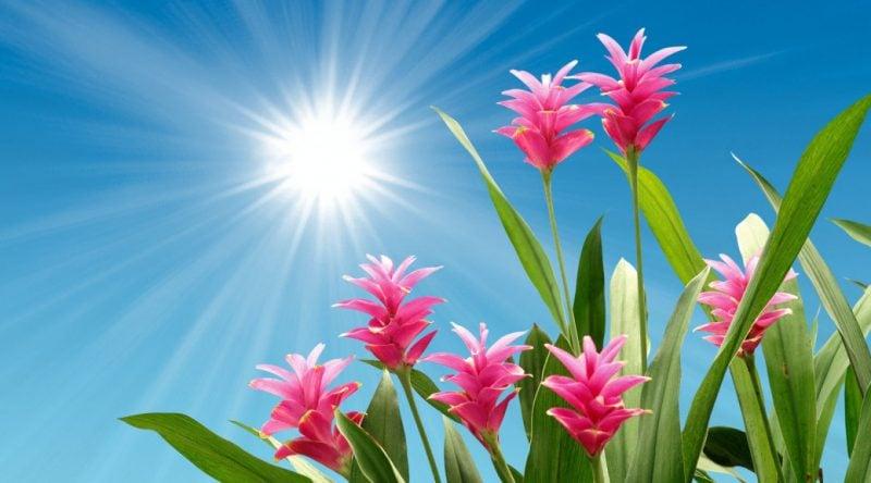 Curcuma Pflanze: Wundermittel für Garten, Balkon und Terrasse!