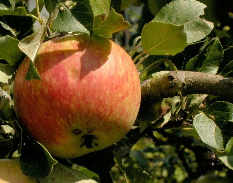 Spalierobst anbauen Apfelbaum