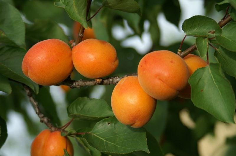 Spalierobst anbauen Aprikosen