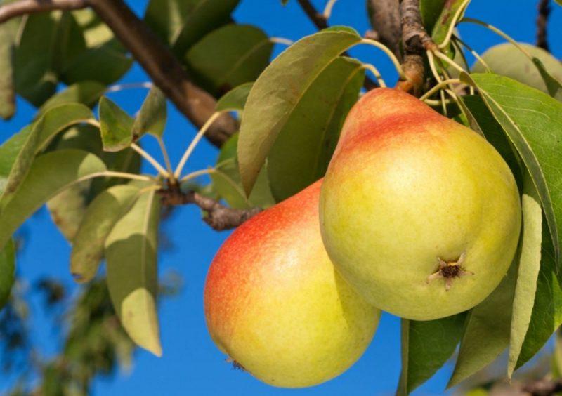 Spalierobst anbauen Birnen