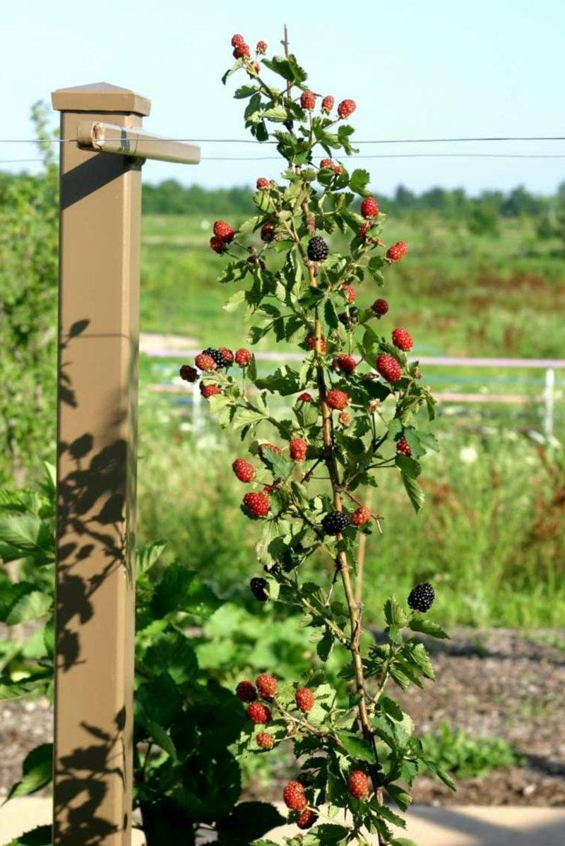 Spalierobst anbauen Brombeeren