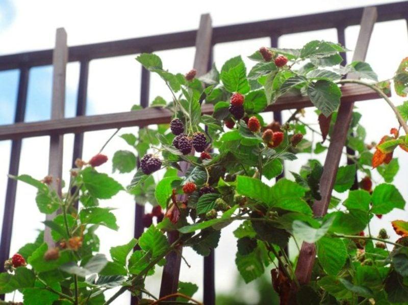 Spalierobst im kleinen Garten anbauen Brombeeren