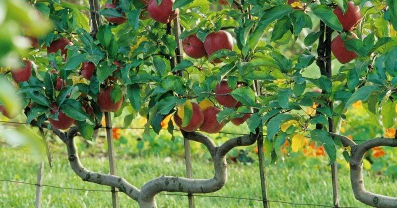 Spalierobst anbauen Apfelbaum Doppel-U-Spalier