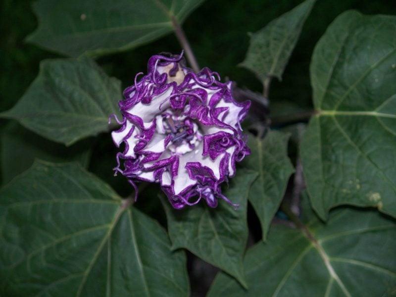 Engelstrompete gehört zu den schönsten Giftpflanzen!