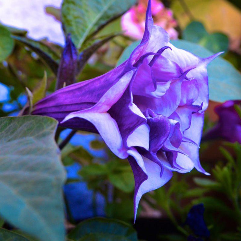 Engelstrompete: Schönheit und Lebendigkeit in Ihrem Garten!