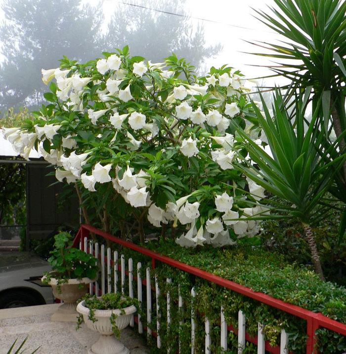 Engelstrompete: ein toller Blickfang in Ihrem Garten!