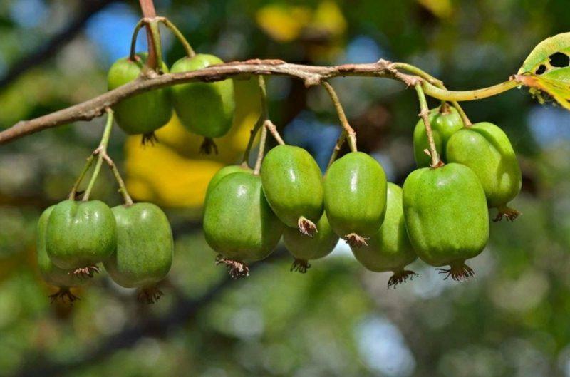 Spalierobst im kleinen Garten anbauen Kiwi