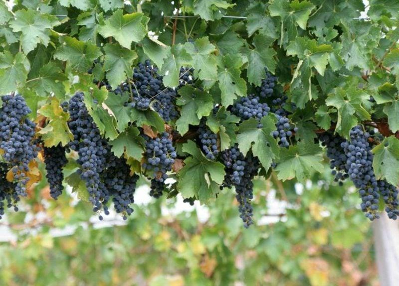 Spalierobst anbauen Weinrebe