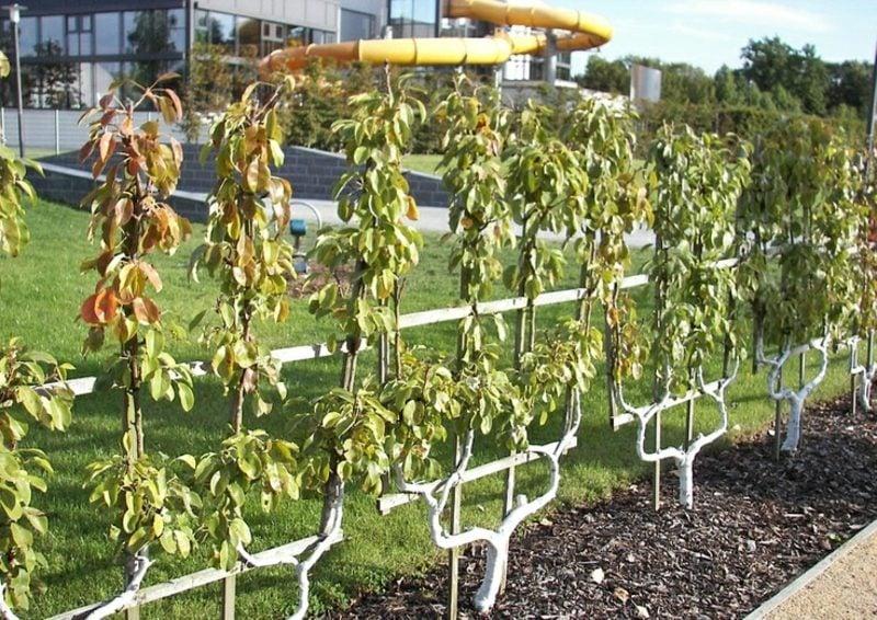 Obst anbauen Spalier aus Matall Doppel-U-Form