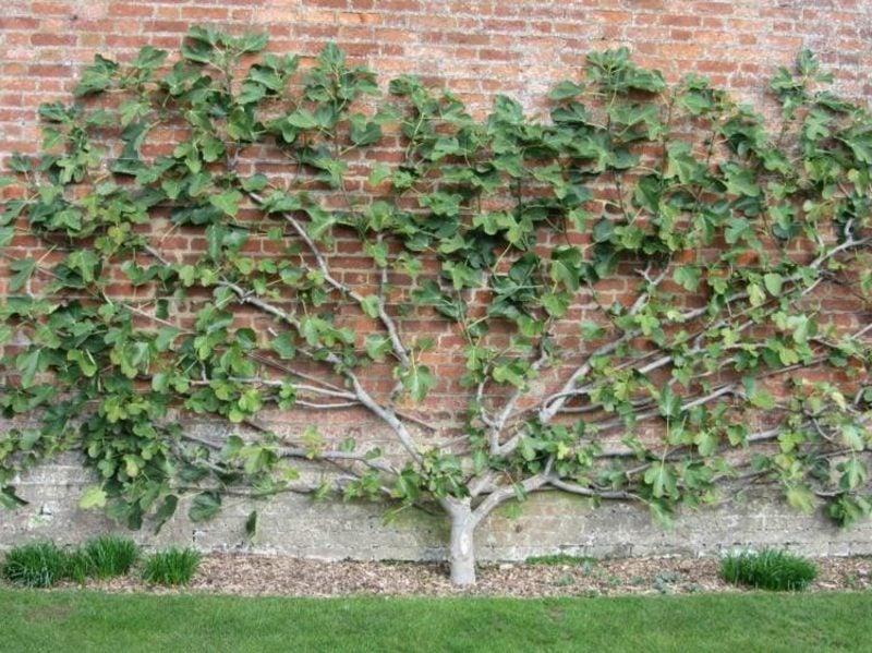 Obstbaum Spalier Garten herrlicher Look