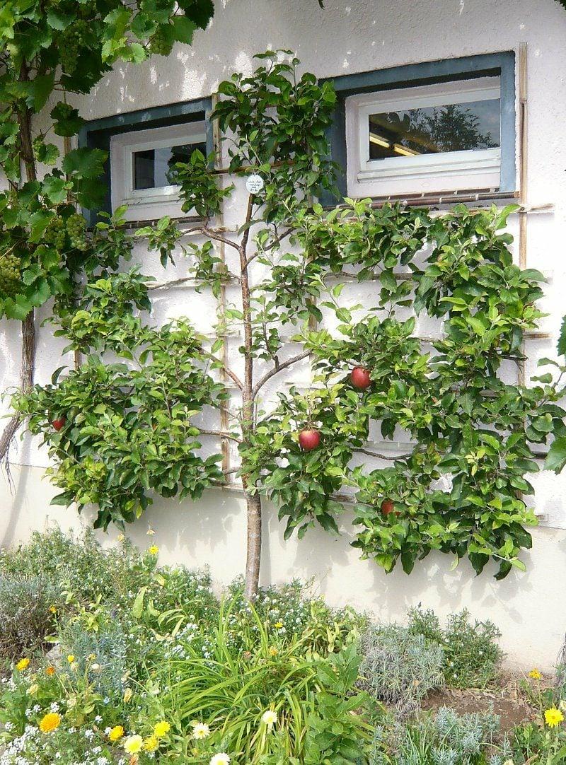 Spalierobst anbauen Hausfassade