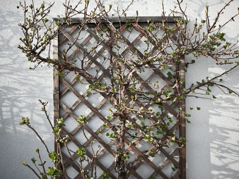 Obst anbauen Spalier Holzgitter
