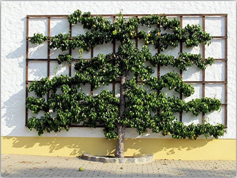 Spalier aus Holz Hauswand Obst anbauen