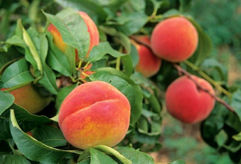 Spalierobst Pfirsiche kreative Ideen Garten