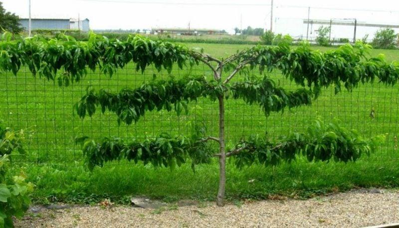 Spalierobst Pfirsichbaum Ideen und Inspirationen