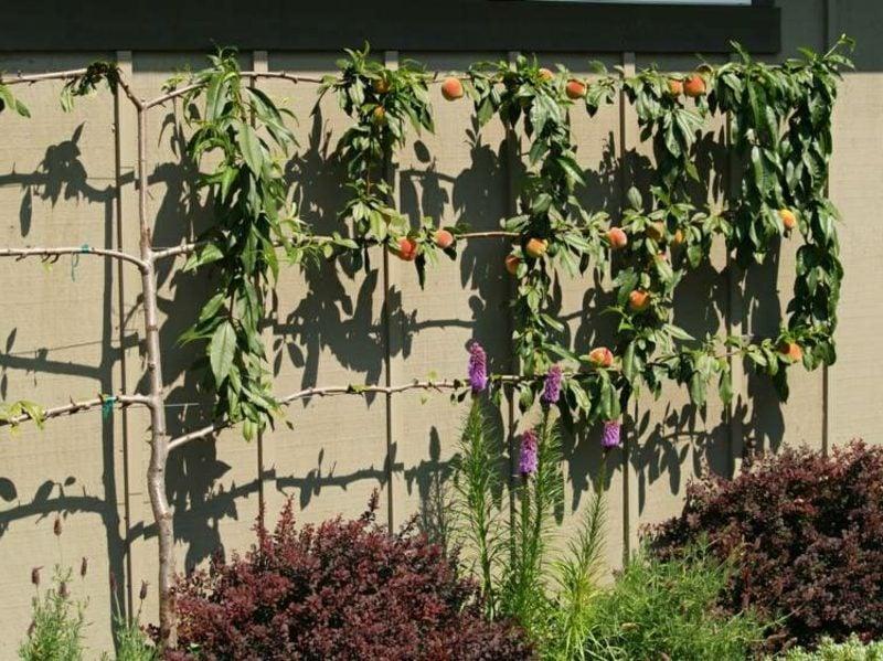 Spalier aus Holz Pfirsichbaum garten