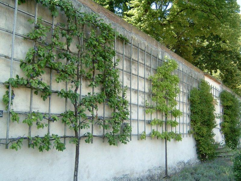 Spalierobst im kleinen Garten anbauen