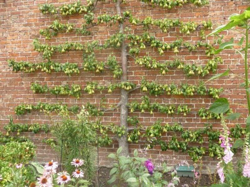 Spalier Backsteinwand Birnen anbauen
