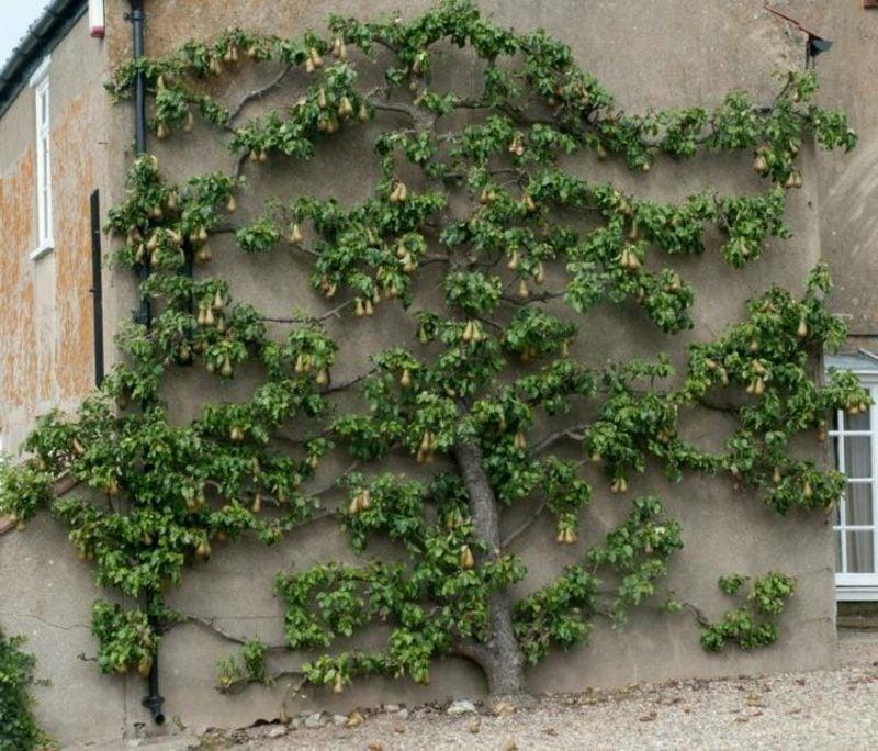 Spalier an der Hausfassade Obstbaum kreative Ideen